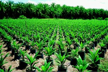 siembra palma africana